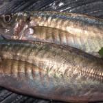 阿久根から来る魚 マルアジ