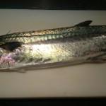 阿久根から来る魚 サワラ