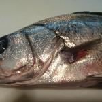 阿久根から来る魚 ヒラスズキ