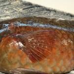 阿久根から来る魚 ブダイ(ハンタ)
