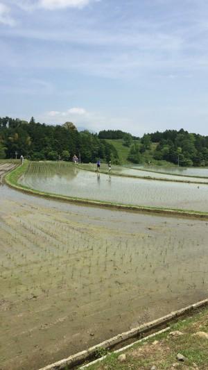 広大な棚田ここで田植えが行われます。