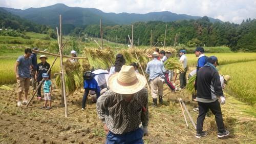 刈り取った稲を天日に干すと甘味が増すそうです