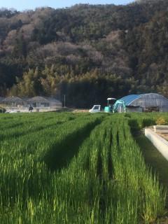 広がる麦畑。田んぼは今は休ませています。